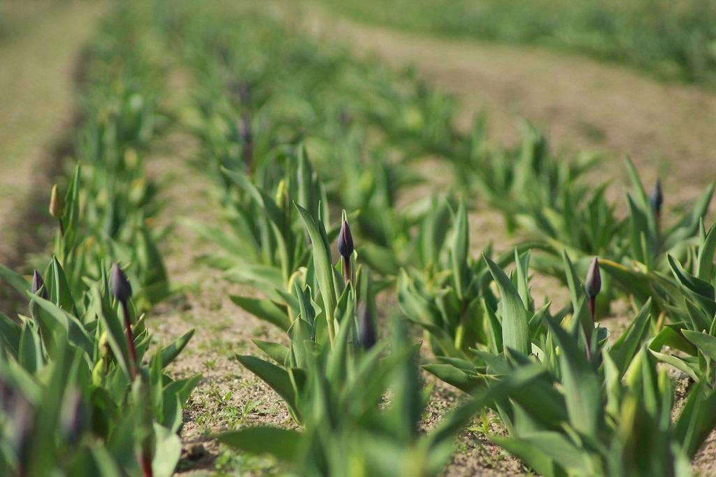 Tulpenfeld von Tacke's Blumenfelder