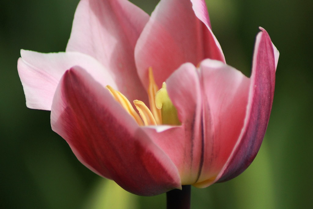 Tulpen auf Tacke's Blumenfelder