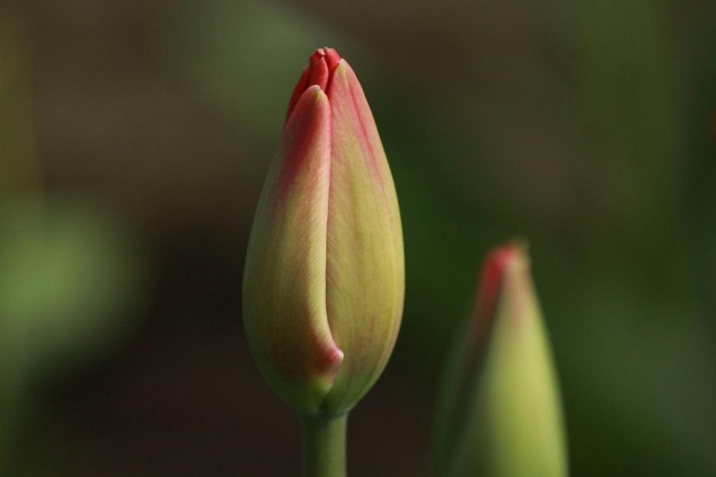 Tulpenzwiebeln - Tacke's Blumenfelder