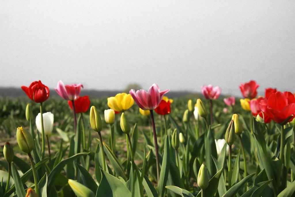 Tulpensaison bei Tacke's Blumenfelder